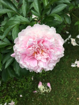 Lessons learned from a peony