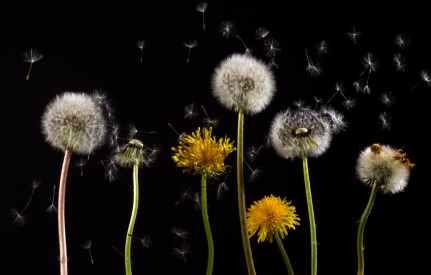 dandelion-macro-common-dandelion-taraxacum